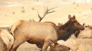 Elk Bull Cow Antlers Hunting 13 Stock Footage