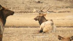 Elk Bull Cow Antlers Hunting 6 Stock Footage