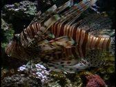 Tropical fish V13 - PAL Stock Footage