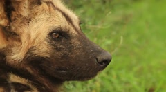 Slomo CU from Ears to Face of African Wild Dog GFSHD Stock Footage