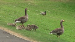 Geese and Goslings Stock Footage