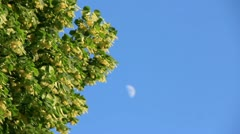 Linden tree flowers blossom on background blue sky with moon silhouette Stock Footage
