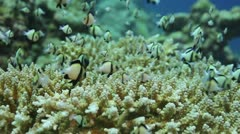 Indian humbug hides in hard coral close Stock Footage