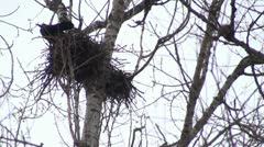 Crows in the trees in winter Stock Footage