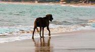 The dog is on the Goa beach Stock Footage