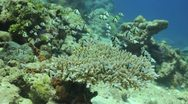 Indian Humbug hides in hard coral Stock Footage