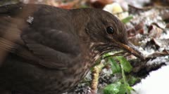 Thrush winter looking for food Stock Footage