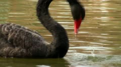 Swan playing with a frog Stock Footage