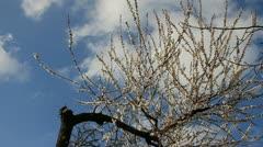 Old curve tree bloom Stock Footage