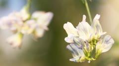 Alfalfa flower Stock Footage