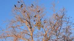 Sunrise Ravens Stock Footage