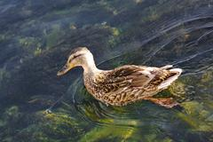 Duck in water Stock Photos