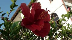 Hibiscus flower close up and house Stock Footage