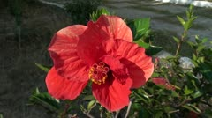 Hibiscus flower close up Stock Footage