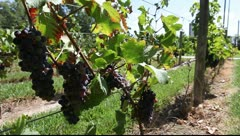 Wine production in Mendoza - stock footage