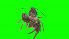 Lobster 01 (green screen) Stock Footage