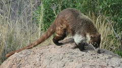 Coati Sniffs Rock Stock Footage