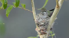 Hummingbird Nest Action Stock Footage