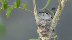 Stock Video Footage of Nesting Hummingbird Chirps