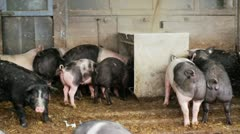 Pigs eating Stock Footage
