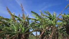 Banana farms. Stock Footage