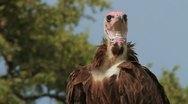 Hooded Vulture closeup Slow Motion GFSHD Stock Footage