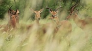 Rack Focus to African Gazelle through Grass GFSHD Stock Footage