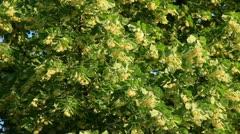 Linden tree flowers swing Stock Footage