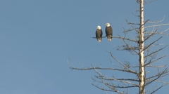 Funny Bald Eagle Couple Conversing in a Tree timelapse - stock footage