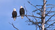 Pair of Bald Eagles in a Dead Tree 1 Stock Footage