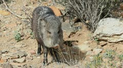 Javelina Head Stock Footage
