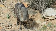 Stock Video Footage of Javelina Head