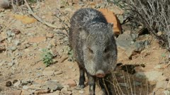 Javelina Sniffs Surroundings Stock Footage