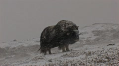 Muskox in heavy snow Stock Footage