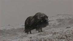 Muskox in heavy snow - stock footage