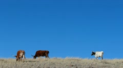 Cattle Blue Background Stock Footage