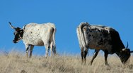 Stock Video Footage of Cattle Graze Blue Sky
