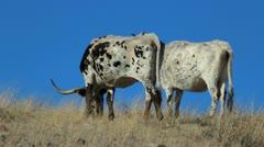 Cattle Herd Grassland Stock Footage