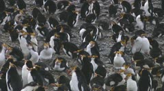 Royal penguin Stock Footage