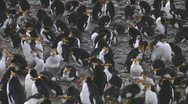 Stock Video Footage of Royal penguin