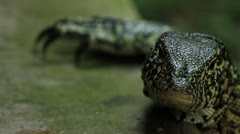Monitor Lizard looking and shooting tongue out Slow Motion GFSHD Stock Footage