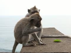Monkey. Bali zoo. Indonesia. Stock Footage