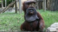 Monkey shooting fruits to camera. Bali zoo. Indonesia. - stock footage