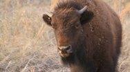 Close Shot of Buffalo Calf staring into camera Stock Footage