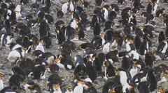 Royal penguins Stock Footage