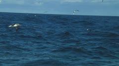Chatham Island albatross - stock footage