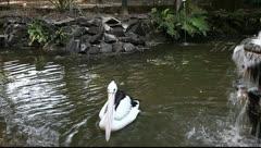 Pelican - stock footage
