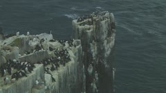 Colony of guillemots - stock footage