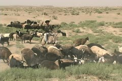 Turkmenistan Karakum goatherd on donkey Stock Footage