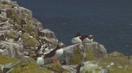 Stock Video Footage of Group of puffins